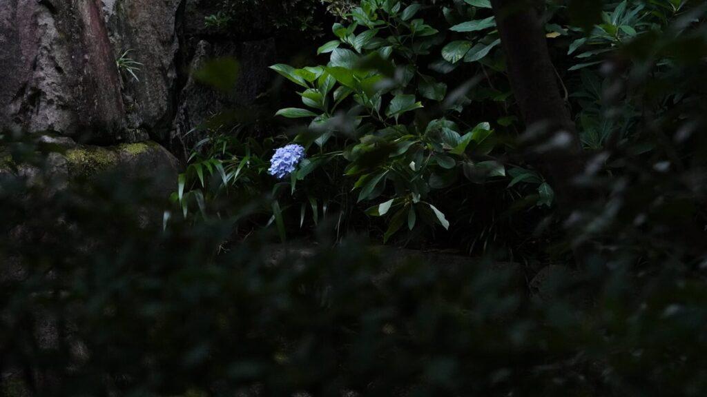 丈山苑の紫陽花